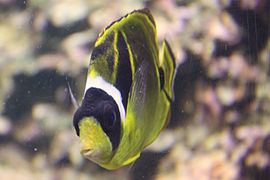 Chaetodon lunula at the Columbus Zoo-2011 07 11 IMG 0614.JPG