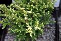 Chamaecyparis pisifera Plumosa Compressa Aurea 0zz.jpg