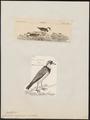Charadrius nigrifrons - 1700-1880 - Print - Iconographia Zoologica - Special Collections University of Amsterdam - UBA01 IZ17200237.tif