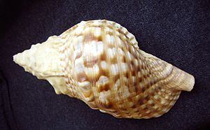 Ranellidae - Dorsal view of a shell of Charonia lampas capax