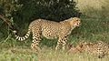 Cheetah, Acinonyx jubatus, at Pilanesberg National Park, Northwest Province, South Africa. (26977240603).jpg