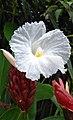 Cheilocostus speciosus (white).jpg