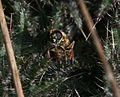Cheilosia grossa (female) - Great Spring-cheilosia ovipositing on thistle rosette - Flickr - S. Rae.jpg