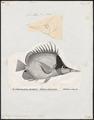 Chelmo longirostris - 1700-1880 - Print - Iconographia Zoologica - Special Collections University of Amsterdam - UBA01 IZ13100195.tif
