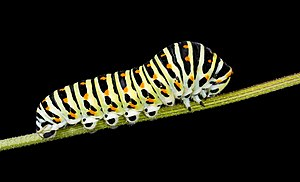 Caterpillar - Caterpillar of Papilio machaon