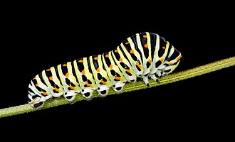 Caterpillar - Caterpillar of Papilio machaon