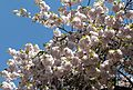 Cherry Blossom - Flickr - gailhampshire.jpg