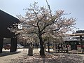 "Cherry Blossoms ""Seichozakura"" in front of Nishitetsu-Kashii Station 5.jpg"