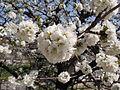 Cherry blossoms (3426780615).jpg
