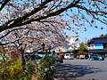 Cherry trees in full blossom 桜が満開、花庭 - panoramio.jpg