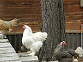 Chickens-in-line1.jpg
