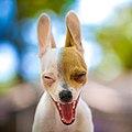Chihuahua Wassup?.jpg