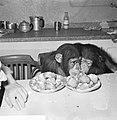 Chimpansees Tilly en Hilda uit Artis eten oliebollen, Bestanddeelnr 918-6178.jpg