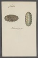 Chiton spec. - - Print - Iconographia Zoologica - Special Collections University of Amsterdam - UBAINV0274 081 06 0015.tif