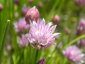 Chives - Flower with bud