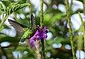 Chlorostilbon melanorhynchus (Esmeralda occidental) - Hembra - Flickr - Alejandro Bayer (7).jpg