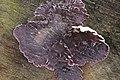 Chondrostereum purpureum - Mottbruchhhalde (33575720761).jpg