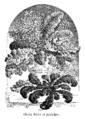 Choux frisés et panachés Vilmorin-Andrieux 1904.png