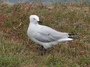 Black-billed gull - Adult at Lake Taupo