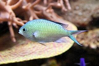 <i>Chromis viridis</i> species of fish