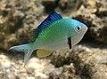 Chromis viridis mâle nuptial.JPG