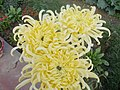 Chrysanthemum 13.jpg