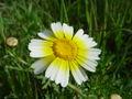 Chrysanthemum coronarium var. discolob.JPG
