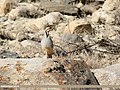 Chukar Partridge (Alectoris chukar) (26703898259).jpg
