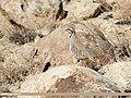 Chukar Partridge (Alectoris chukar) (43169696532).jpg