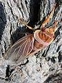 Cicada (1660241129).jpg