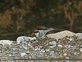 Cinereous Tit (Parus cinereus) (15708493710).jpg