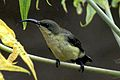 Cinnyris lotenius -Dharga Town -Sri Lanka -female-8.jpg