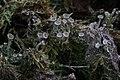 Cladonia fimbriata 28075191.jpg