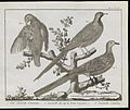 Classification of three turtledoves Wellcome L0072133.jpg