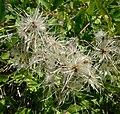 Clematis ligusticifolia 2.jpg