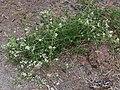Clematis ligusticifolia plant.jpg