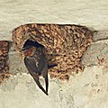 Cliff Swallow (4847368034).jpg