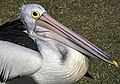 Clontarf Pelican waiting for food-1 (7635972282).jpg