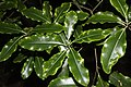 Close up of lemonwood leaves with black background.jpg