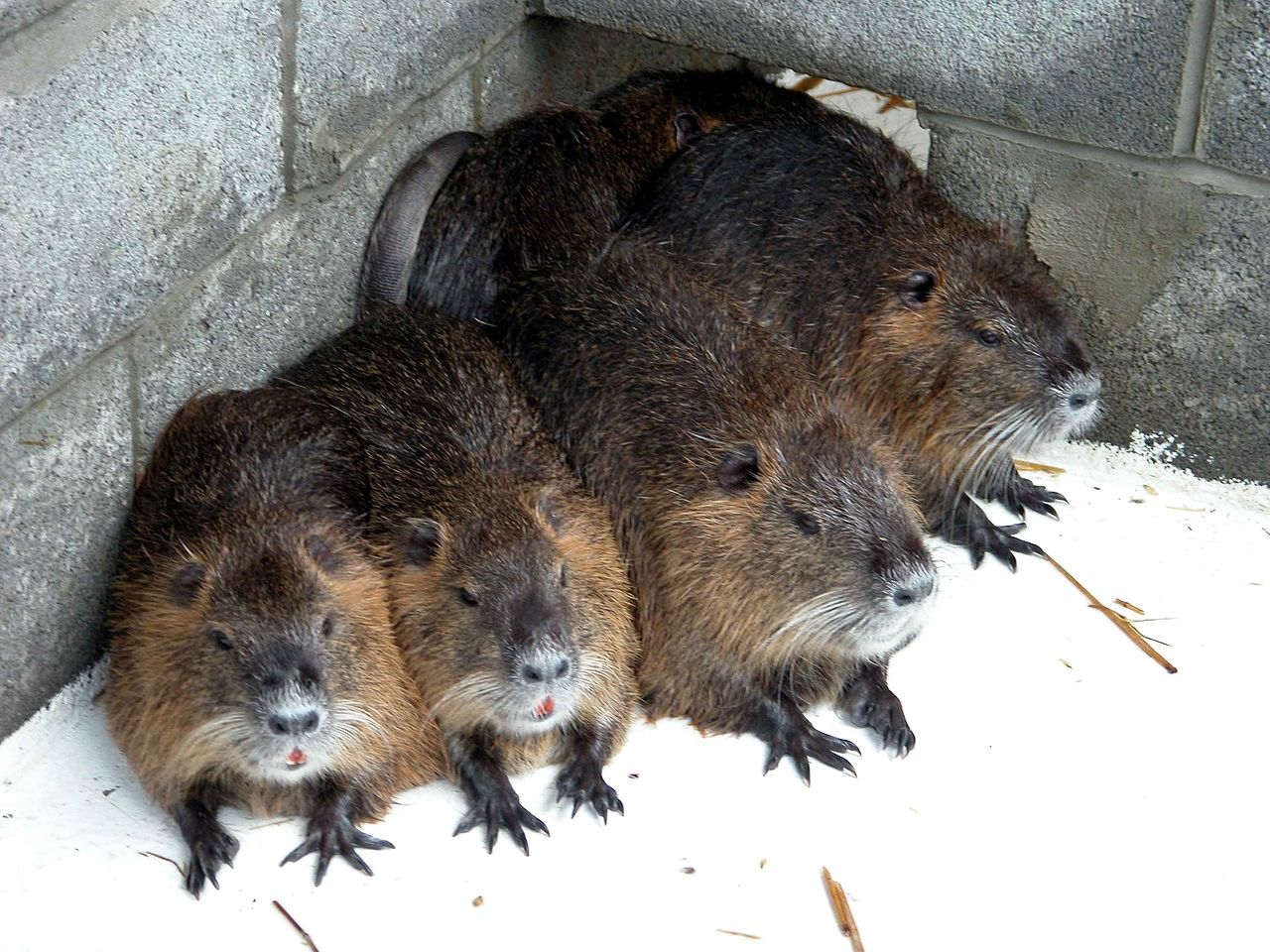 https://upload.wikimedia.org/wikipedia/commons/thumb/f/f3/Close_up_of_nutria_or_coypu_myocastor_coypus.jpg/1280px-Close_up_of_nutria_or_coypu_myocastor_coypus.jpg
