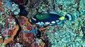 Clown Triggerfish (Balistoides conspicillum) (8473953994).jpg