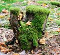 Clustered woodlover - Hypholoma fasciculare - Grünblättriger Schwefelkopf - sulfur tuft - 04.jpg