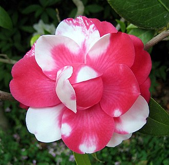 Dominance (genetics) - Co-dominance in a Camellia cultivar