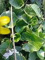 Coccinelle cachée dans les feuilles d'une ficaire à Grez-Doiceau 002.jpg