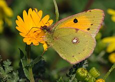 Colias croceus - Clouded Yellow butterfly 1.jpg