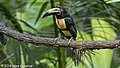 Collared Aracari, Rancho Naturalista, Costa Rica, January 2018 (38465590630).jpg