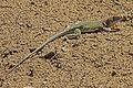 Collared Lizard - Crotaphytus collaris, Angel Peak Scenic Area, Bloomfield, New Mexico.jpg