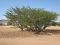 Colophospermum mopane arbre MHNT.jpg