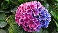 Colorful Hydrangea (37388079464).jpg
