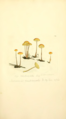 Coloured Figures of English Fungi or Mushrooms - t. 163.png
